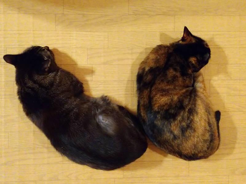 ホットカーペットで眠るキジトラ猫モモとサビ猫あんず