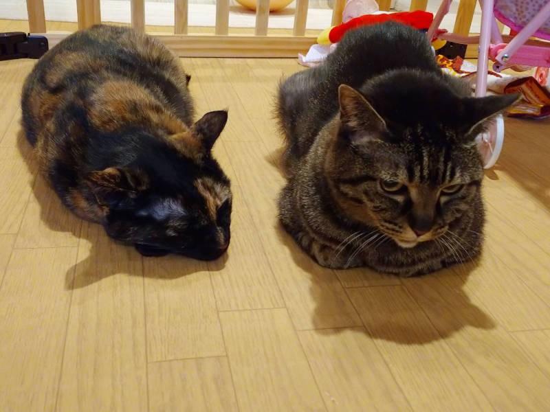 ホットカーペットで寝るキジトラ猫モモとサビ猫あんず
