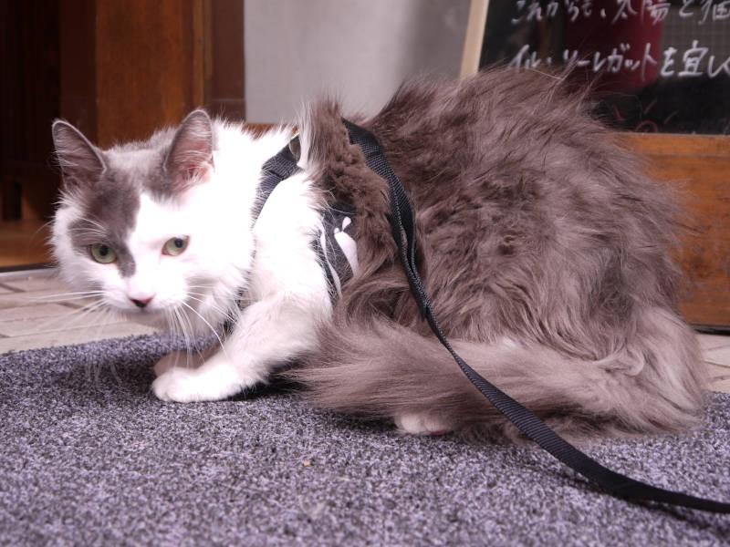 長毛猫のグレーちゃん
