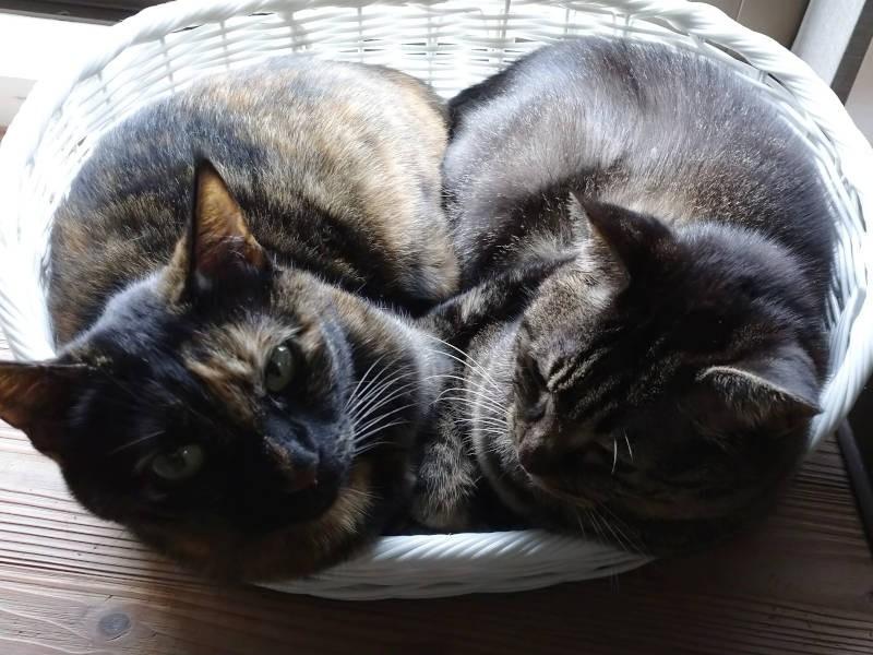 猫団子になるキジトラ猫モモとサビ猫あんず