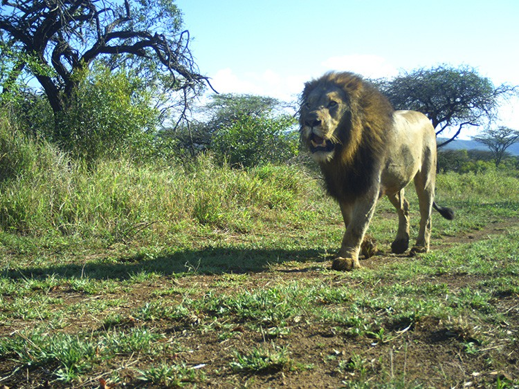 An undated photo provided by Goncarlo Curveira-Santos, a lion captured on a camera trap at a reserve in South Africaユs Limpopo and KwaZulu-Natal provinces. The assumption that adding apex predators to wildlife parks in South Africa benefits smaller animals is in need of more testing, scientists say. (Goncalo Curveira-Santos via The New York Times)-- NO SALES; FOR EDITORIAL USE ONLY WITH NYT STORY SAFRICA-WILDLIFE BY RACHEL NUWER FOR MARCH 13, 2021. ALL OTHER USE PROHIBITED. --