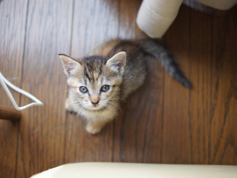 キジ猫「ノルン」