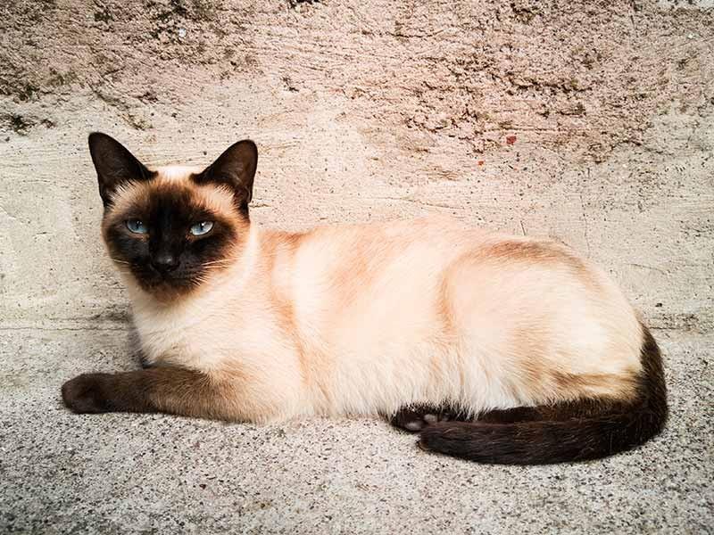 タイ原産の猫を代表する「シャム」。古くから王室などで愛されてきた