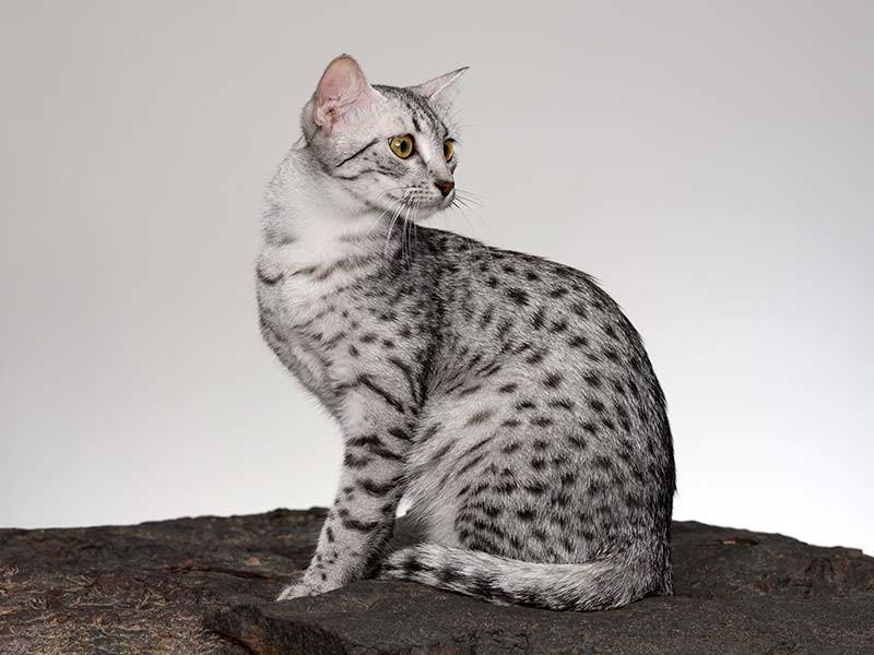 エジプト原産の猫、「エジプシャン・マウ」。スポット(斑点)があるのが特徴