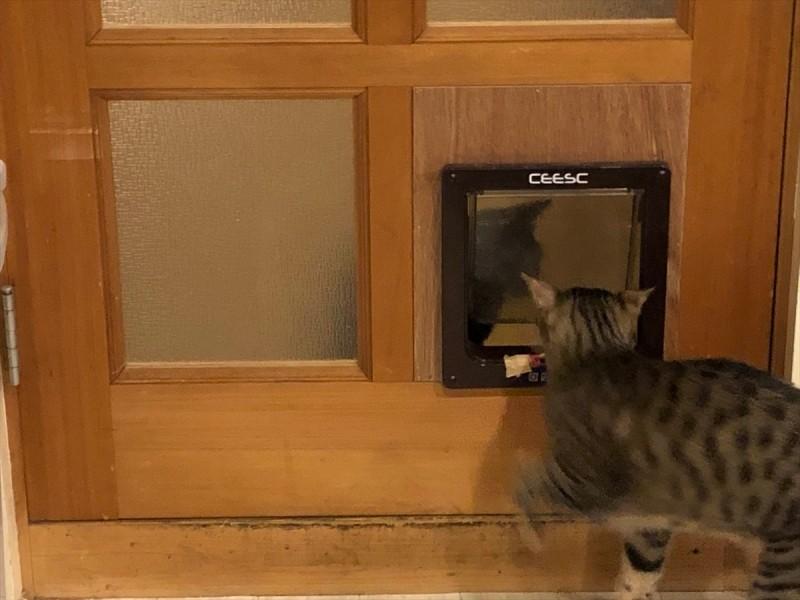 猫ドアから出入りする猫