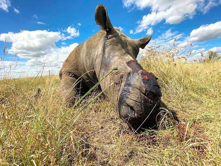 "In a photo provided by Nico Jacobs, at least nine rhinos have been poached in South Africa's North West province since the pandemic began, ""and those are just the ones we know about,"