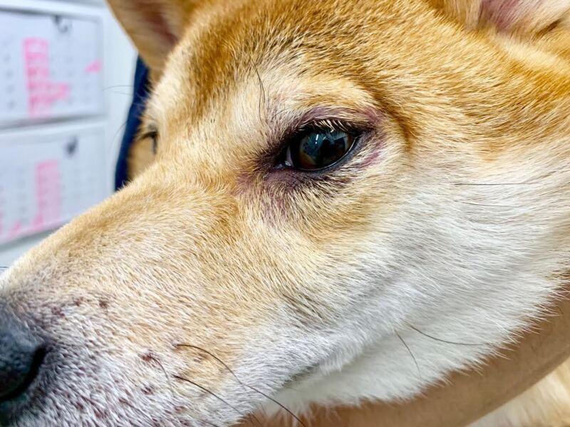 犬アトピー性皮膚炎