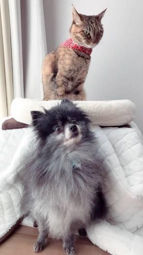 ポメラニアン「シオン」とキジ猫「ノルン」