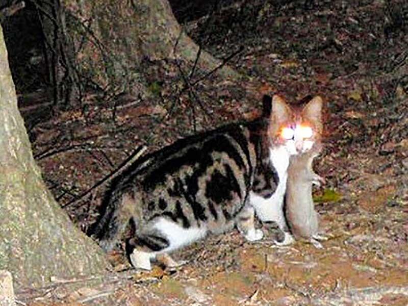 <ケナガネズミをくわえる猫> 希少動物、国の天然記念物ケナガネズミの被害も確認されている=奄美大島、環境省提供
