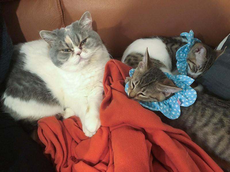 エキゾチックショートヘア「おこわ」と子猫たち