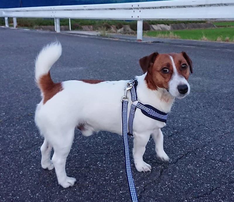 ジャック ラッセル テリア 保護 犬