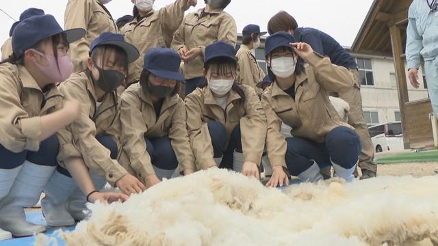 刈った毛は毛糸やフェルト生地に 高校生が羊の毛刈り体験 岡山市