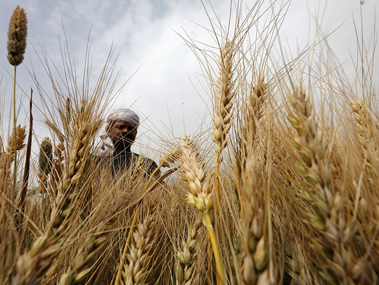 A farmer harvests wheat crop on a field in the El-Menoufia governorate, north of Cairo, Egypt  May 1, 2019. REUTERS/Mohamed Abd El Ghany