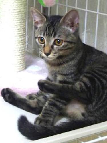 子猫の頃のキジトラ猫「モモ」