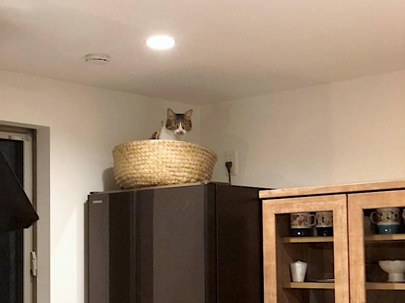 冷蔵庫のうえに避難する猫「ちくわ」