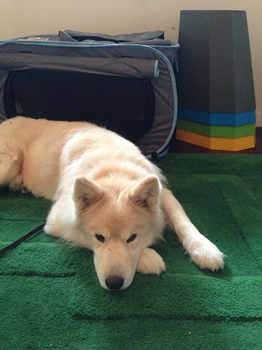 寝そべる大型犬