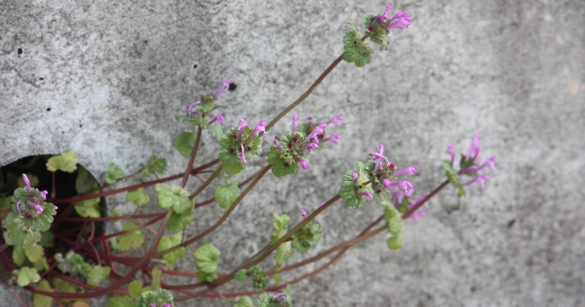 「やけに植物に詳しい僕の街のスキマ植物図鑑」瀬尾一樹さんインタビュー 足元に広がる魅惑の雑草世界|好書好日