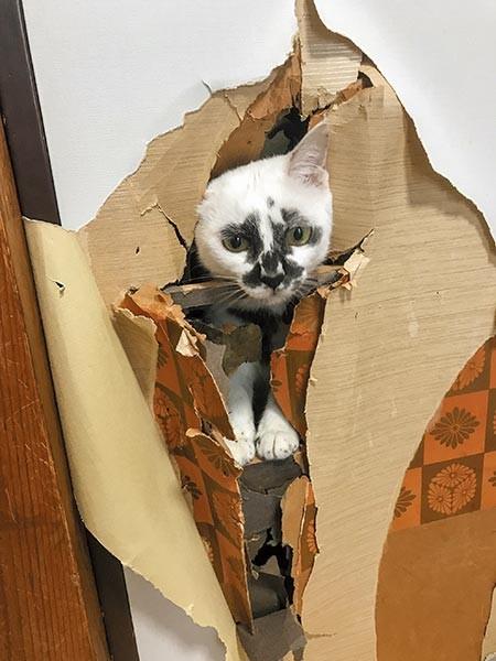 破れたふすまから顔をのぞかせる白黒猫「ミチル」
