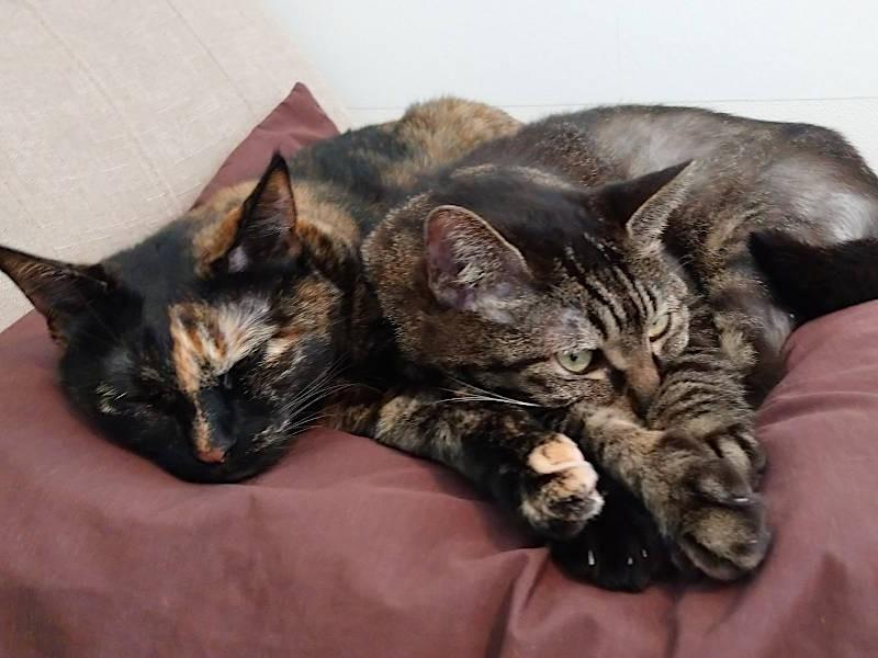眠るキジトラ猫モモとサビ猫あんず
