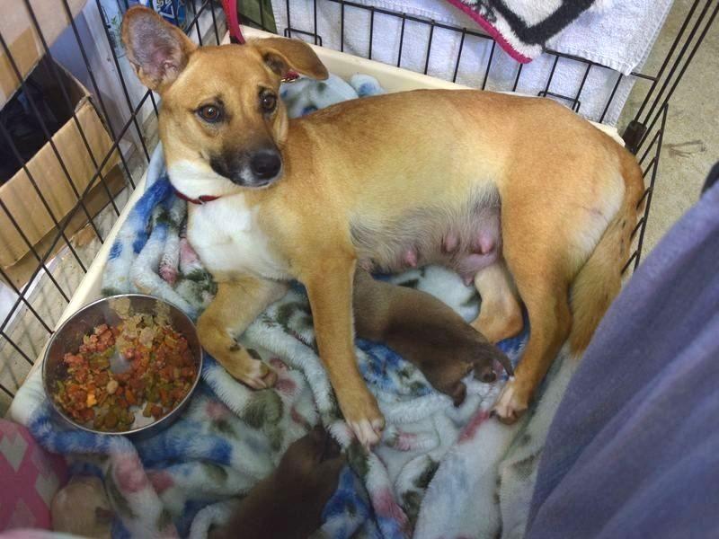 大きなお腹で保護された犬「トナ」。その後、子犬たちが生まれた