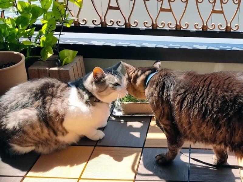 鼻をくっつける2匹の猫