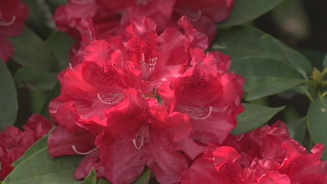 今、一番きれいかも! 岡山・蒜山高原で約100種類、1万5000株のシャクナゲの花が見頃