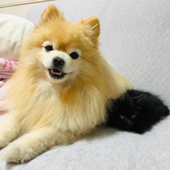 ポメラニアンと黒猫