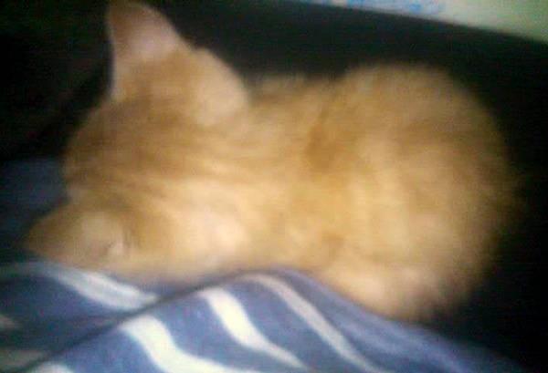 横になる茶トラの子猫「ハナコちゃん」