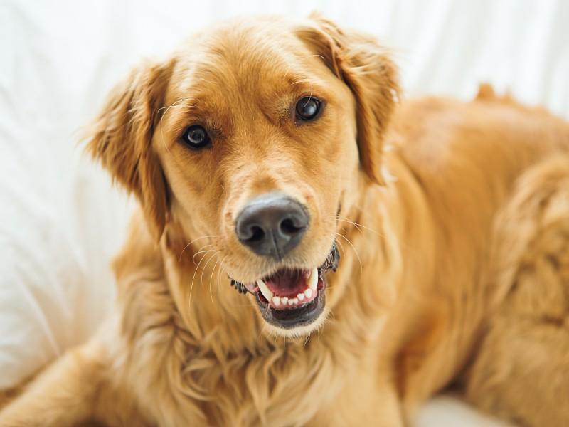 茶色のイヌ