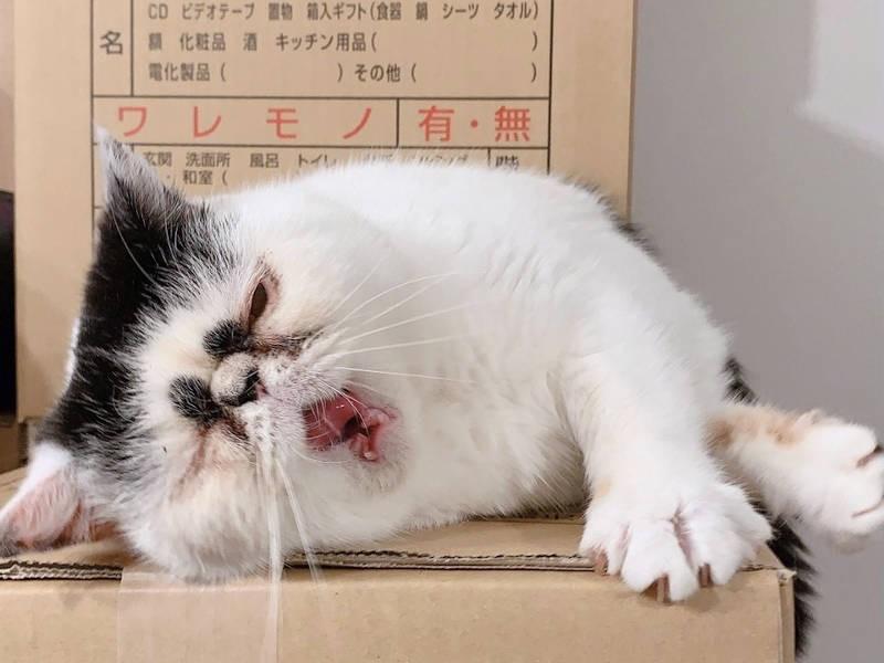 あくびをする猫「タラコ」