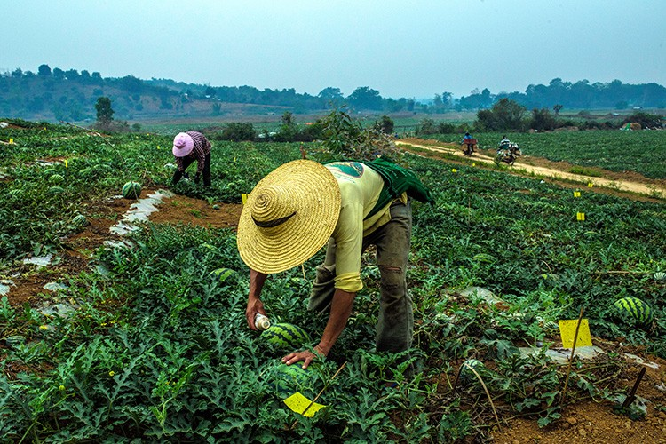 Ethnic Shan farmers work at a watermelon farm in a village on the outskirts of Lashio, Myanmar, March 30, 2019. With women far outnumbered by men in China, some Chinese men are importing wives from neighboring countries, and using force to do so. (Minzayar Oo/The New York Times)