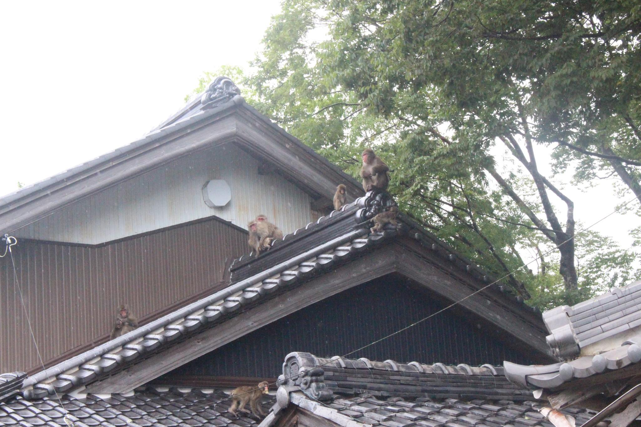 集落の屋根に現れたサル=岐阜県大垣市、池滝和秀撮影