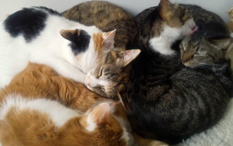 クッションに群がり眠る猫たち