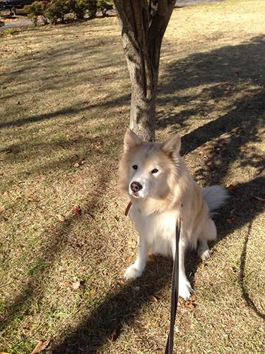 芝生と大型犬