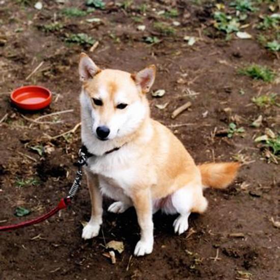 屋外で座る柴犬