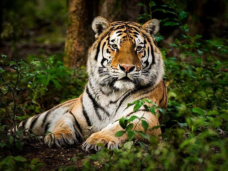 中国には、はるか昔からトラがいたとか