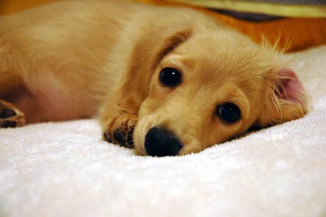 犬の胃炎の家庭薬