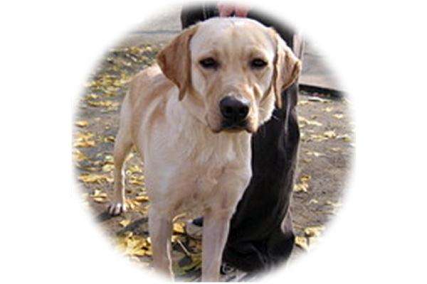 盲導犬の悲しい現実 制度に疑問の声 Sippo シッポ